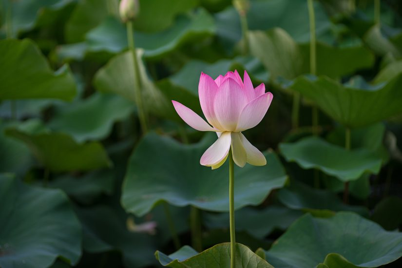 Die Lotus Blume und was Sie mit der Mode zu tun hat.